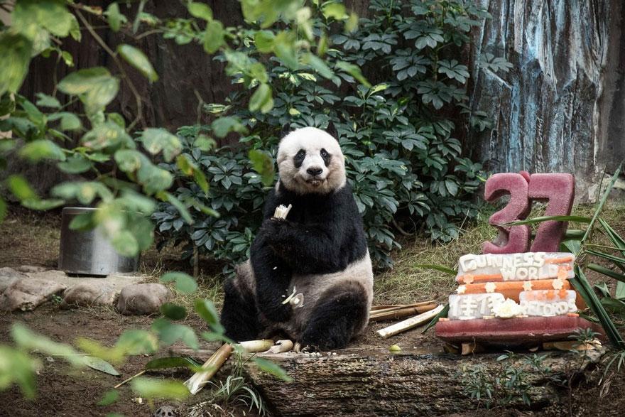Старейшая панда Цзя Цзя