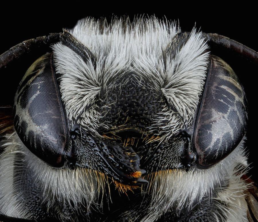 Megachile brevis