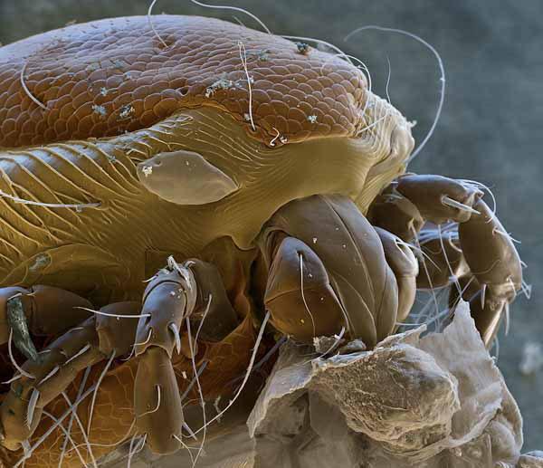 Паразит клеща на личинке комара