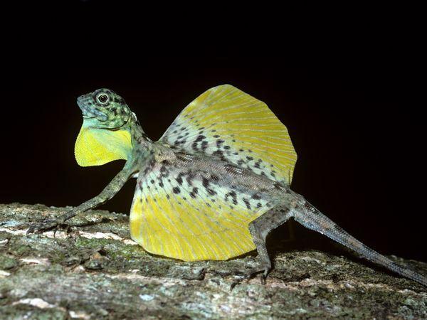 flying-lizard-draco-gular-flap-wings-extended_24699_600x450