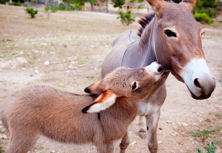 Очаровательные фотографии маленьких ослов.