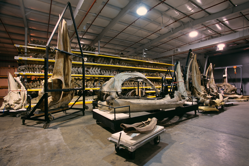 Whale skeletons from the Department of Vertebrate Zoology's marine mammals collections are displayed in storage at the Smithsonian Institution's Museum Support Center (MSC), located in Suitland, Maryland.