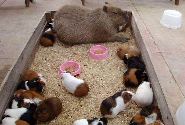 capybaras-10