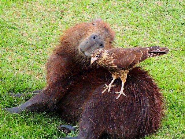 capybaras-12