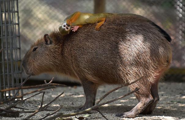 capybaras-13