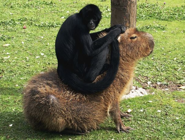 capybaras-14