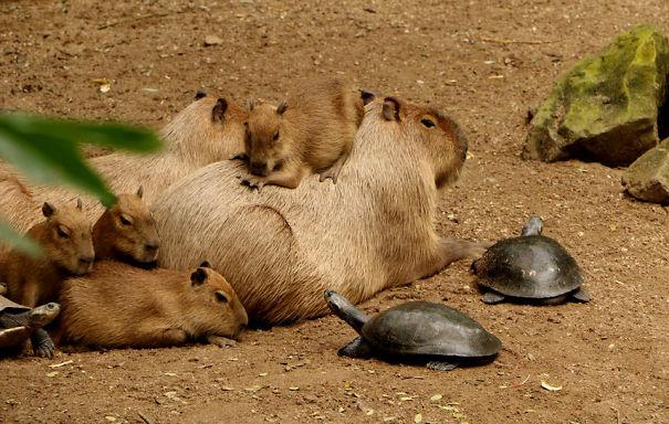 capybaras-15