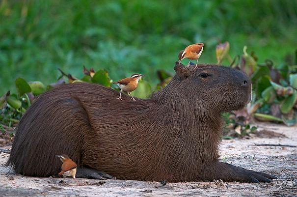 capybaras-16
