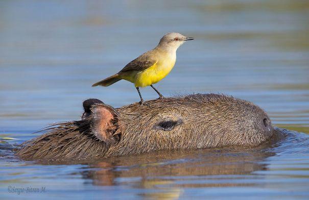 capybaras-17
