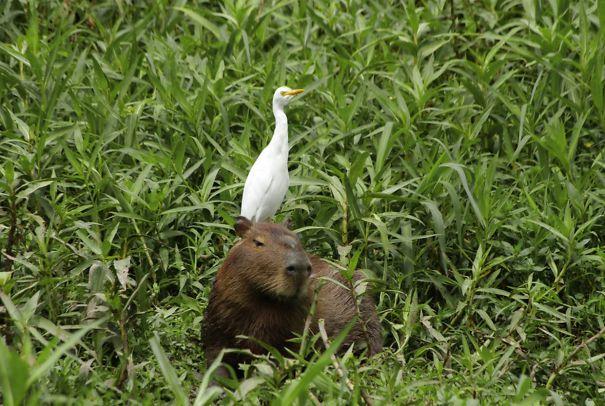 capybaras-18
