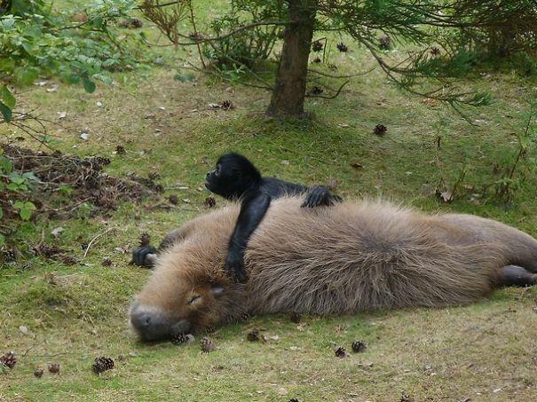 capybaras-20