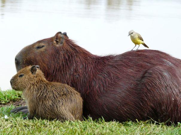 capybaras-21
