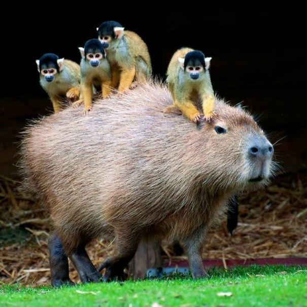 capybaras-22
