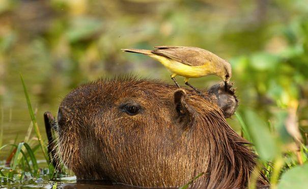 capybaras-24