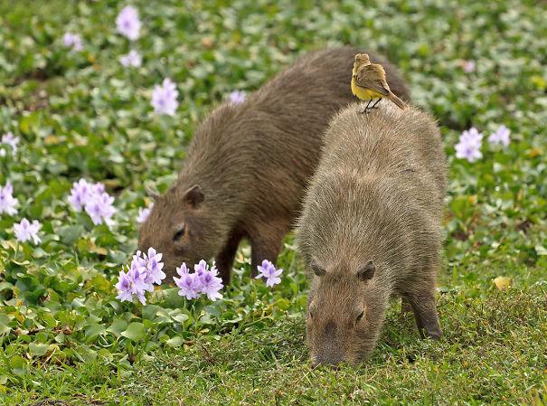 capybaras-26