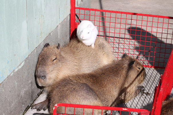 capybaras-27