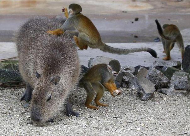 capybaras-28