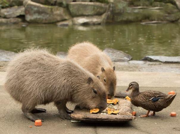 capybaras-29