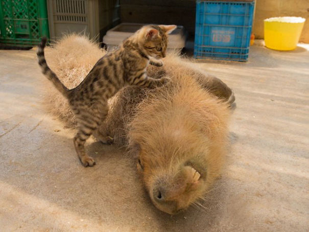 capybaras-3