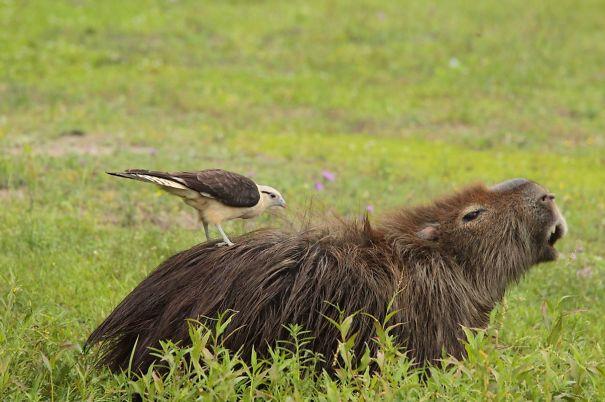 capybaras-30