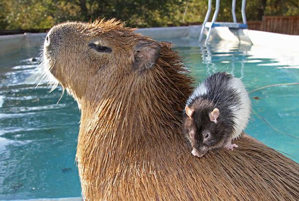 capybaras-31