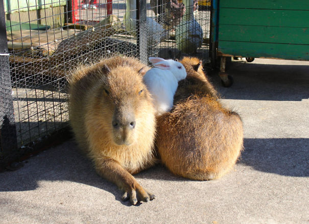 capybaras-32