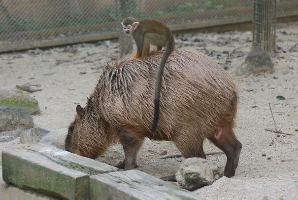 capybaras-33