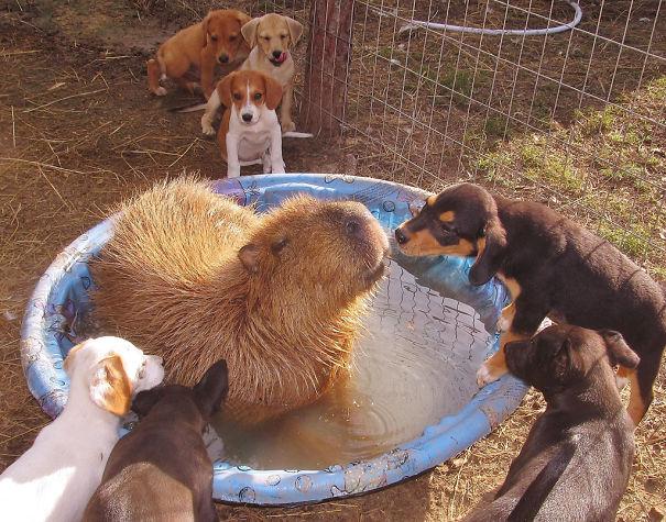 capybaras-4