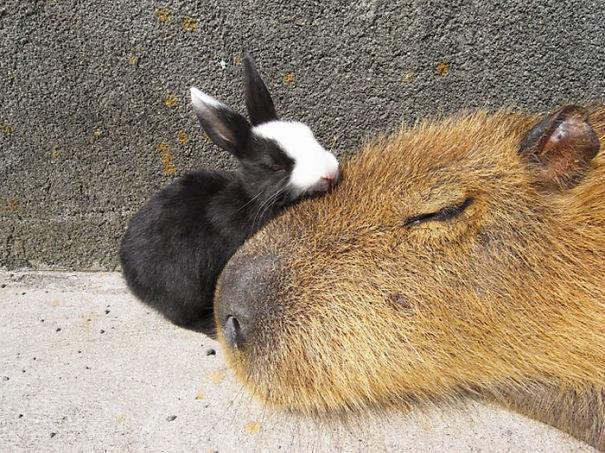 capybaras-5