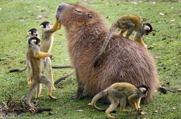 capybaras-6