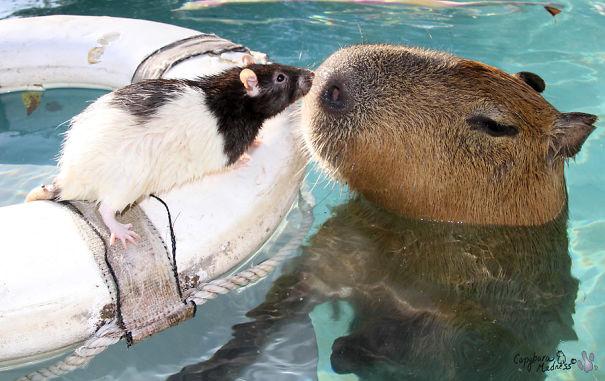 capybaras-9