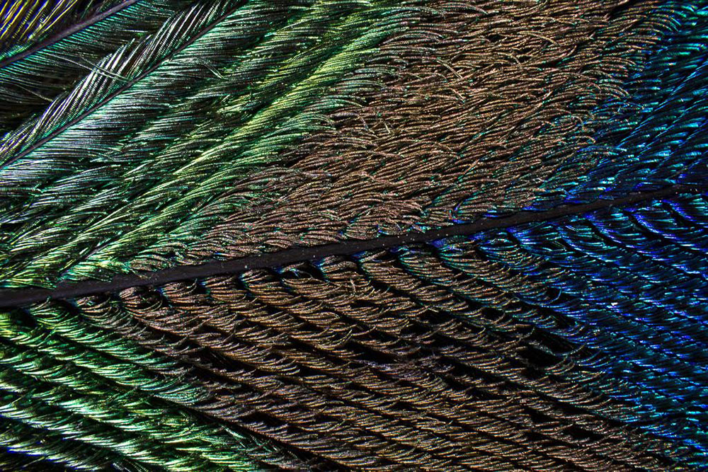 peacock-5