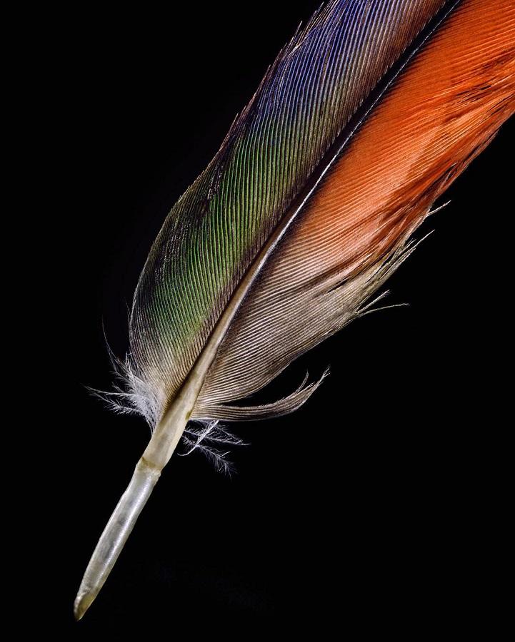 Изысканная красота птичьих перьев в фотографиях Роберта Кларка.
