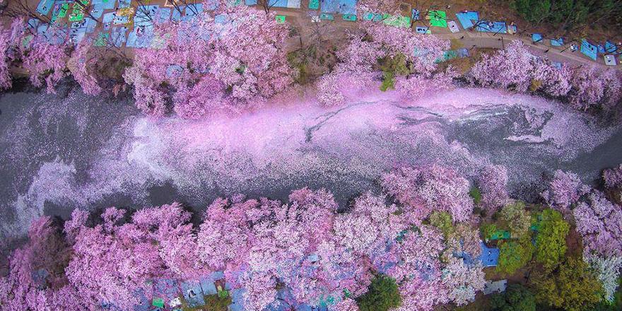 Цветущая сакура в Токио.