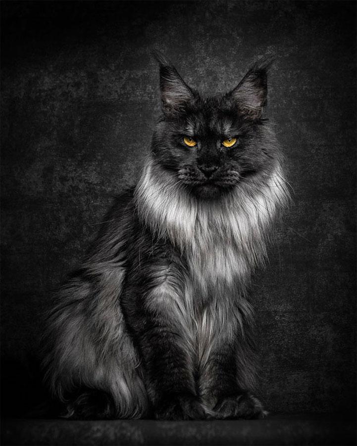 Мейн-куны в фотографиях Роберта Сижка