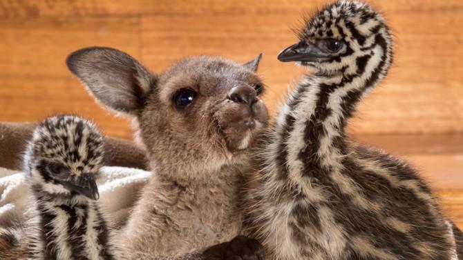 Милая дружба детёнышей кенгуру и эму не оставит равнодушными никого