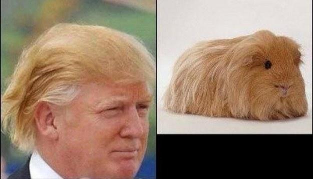 Квадратная морская свинка и Дональд Трамп