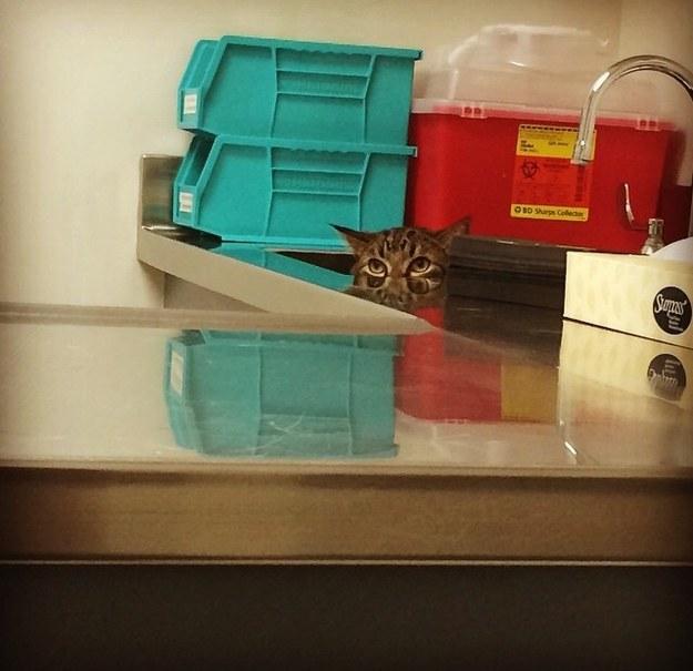 Коты спрятались от ветеринара