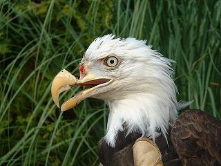 Стоматолог спас умирающего орла, сделав ему протез клюва