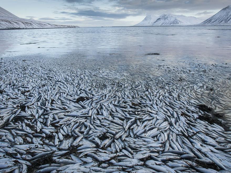 22000 тонн погибшей от суровой зимы сельди