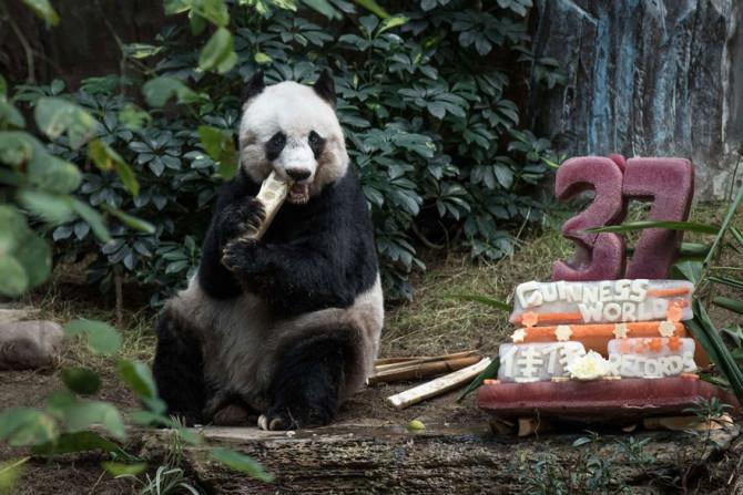 Старейшая панда отметила 37-й день рождения и установила новый рекорд Гиннеса