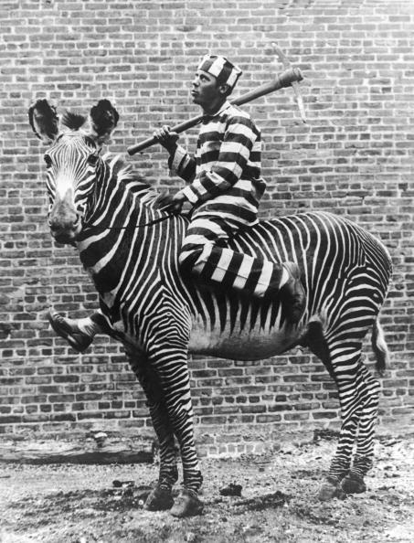 Как приручали зебру