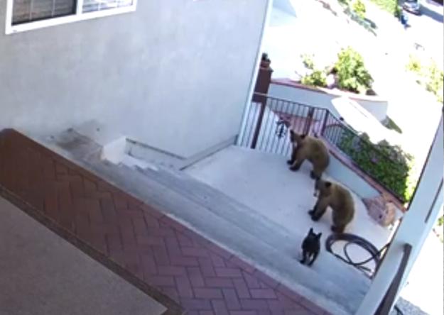 Французский бульдог выгнал двух медведей с заднего дворика