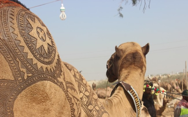 Парикмахеры верблюдов в Пакистане создают замысловатые узоры на мехах животных