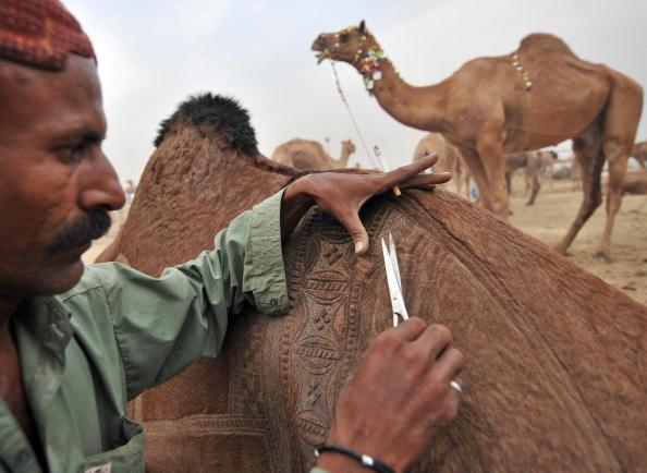 Узоры на мехах верблюдов от пакистанских парикмахеров
