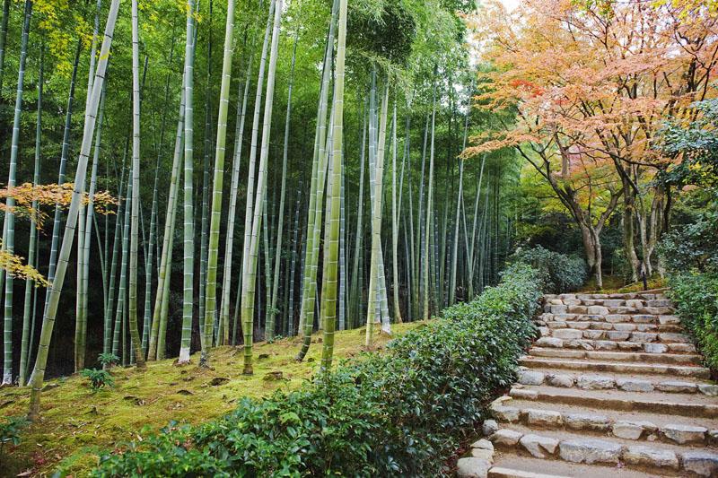 бамбуковый лес Сагано в Японии, The Sagano Bamboo Forest