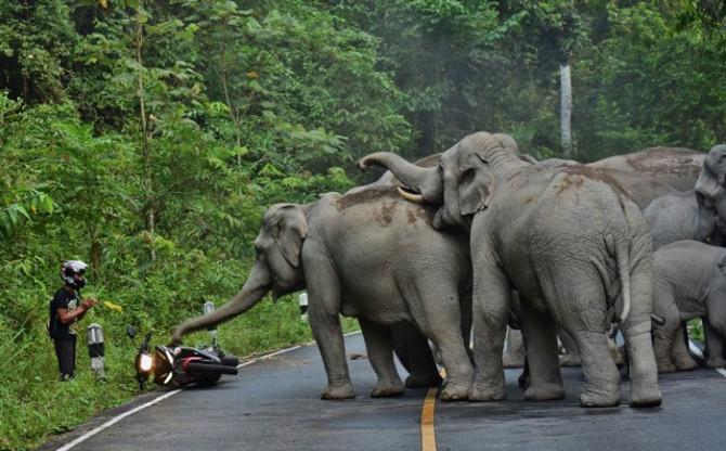 В Таиланде парень извинился перед слонами, после того как побеспокоил их на мотоцикле