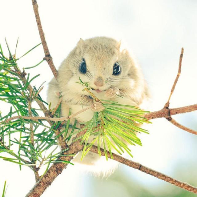 12 фотографий милой и редкой японской летяги