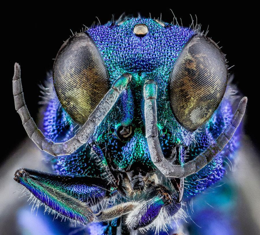 Chrysidid Wasp