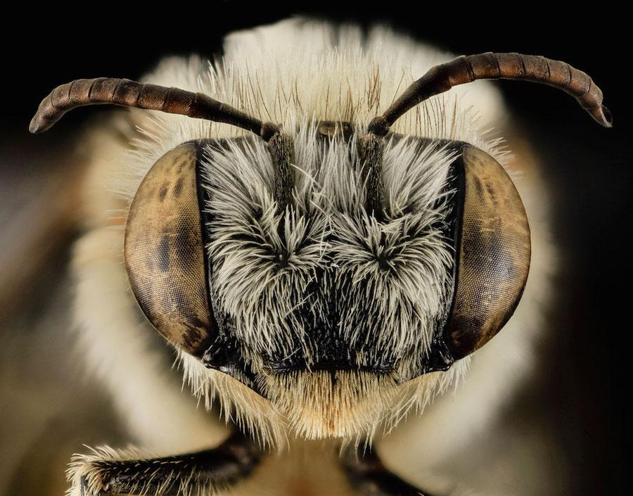 Megachile gemula